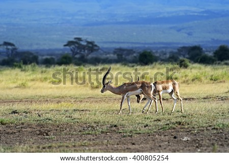 Grant's gazelle in the African savannah in their natural habitat - stock photo