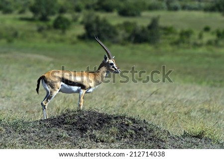 Grant's gazelle in the African savannah Masai Mara - stock photo