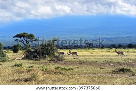 Grant's gazelle in the African savannah on background of Mount Kilimanjaro - stock photo