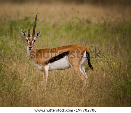 Grant's gazelle with bent horn