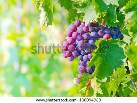 grape bunch - stock photo
