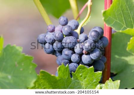 grape bunch - stock photo