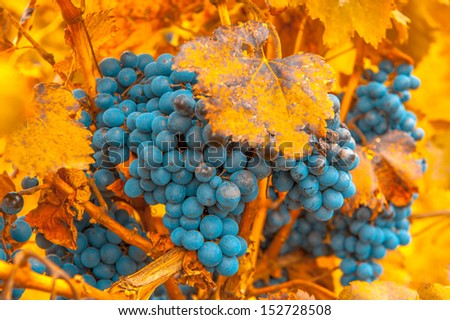 grape bunch, very shallow focus - stock photo