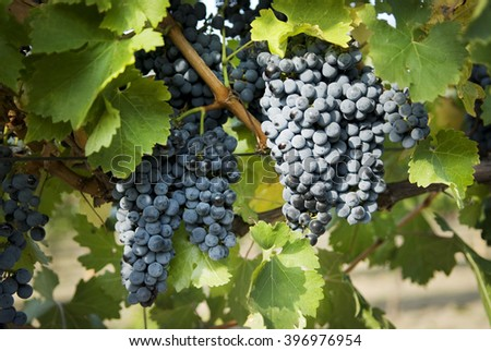 Grape bush with bunches of grapes - stock photo