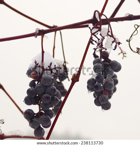 Grape covered with snow - stock photo