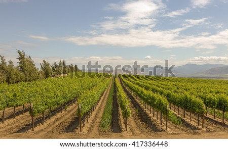 Grape farm with nicely blue sky in California.
