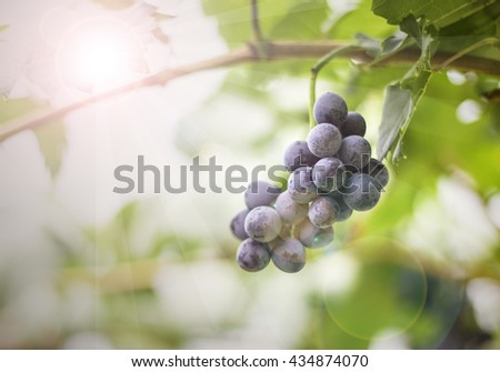 grape fresh In the vineyards bunch of red grapes on the vine with green leaves blurred background - stock photo
