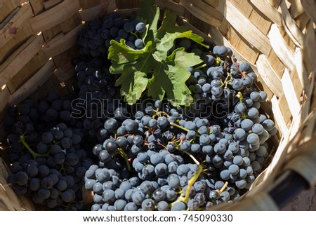 Grape harvest, 2017