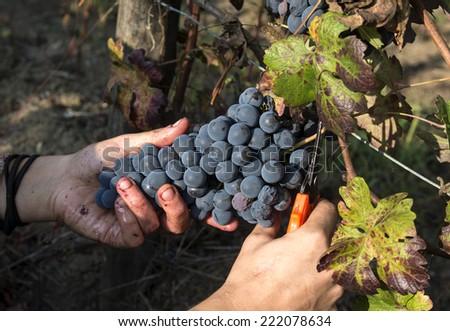grape harvest close up hands - stock photo
