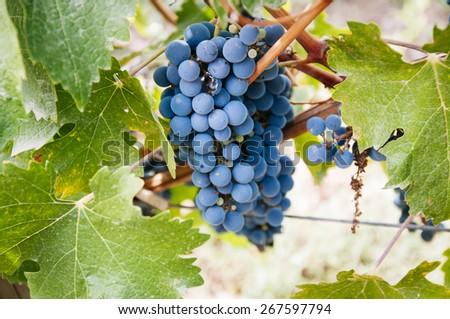 Grape harvest in small organic vineyard - stock photo