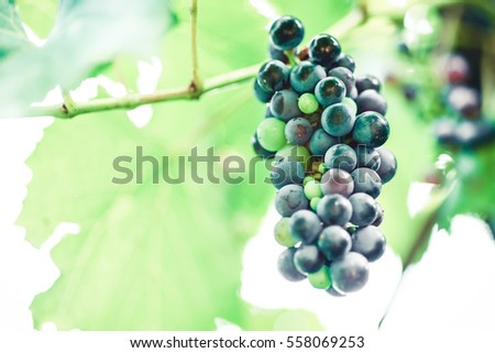Grape harvest. Nature agriculture. Bunch of blue fresh, ripe vine fruit. Summer or autumn season. Rural farm. Healthy food. Viticulture, winery concept.