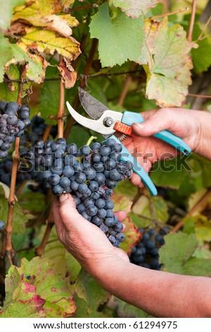 Grape harvesting - stock photo