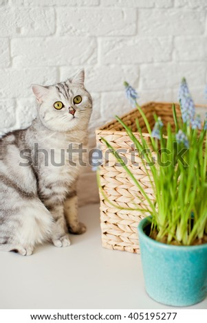 grape hyacinth and cute cat