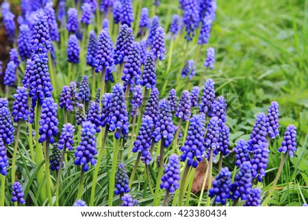grape hyacinth flowers as nice spring background - stock photo
