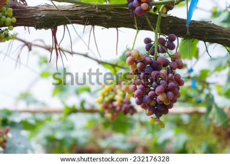 Grape in garden at Monjam , Chiangmai ,Thailand - stock photo
