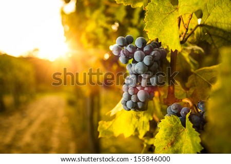 Grape in the vineyard. Shallow depth of field.  - stock photo
