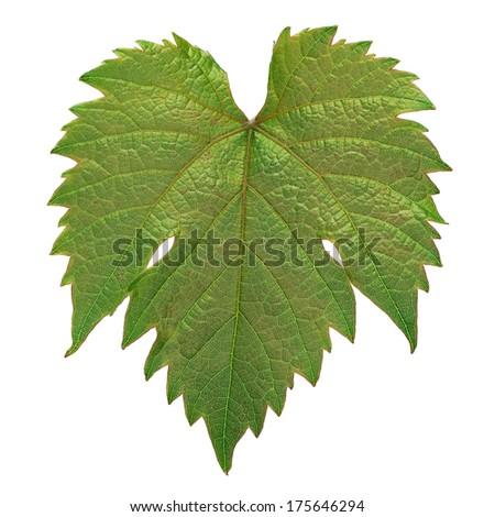 Grape leaf closeup isolated on white - stock photo