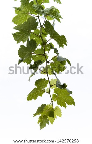 Grape leaf with isolated , isolated - stock photo