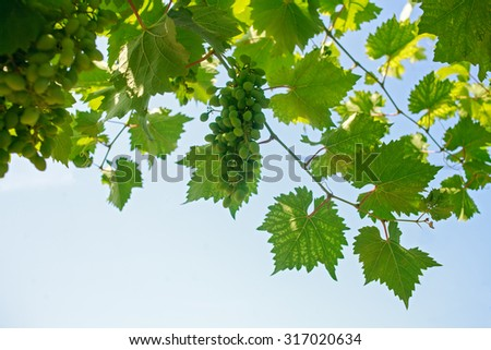 Grape leaves against clear sky