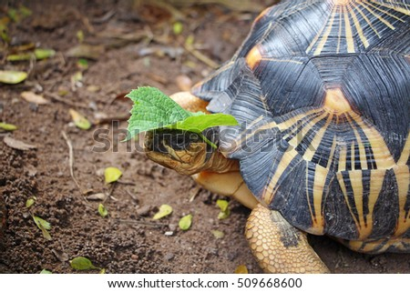 Grape leaves are on the head of a radiated tortoise,The radiated tortoise from south of Madagascar,cute animal pictures make you smile