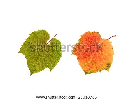 Grape leaves in summer and autumn colors, over white background
