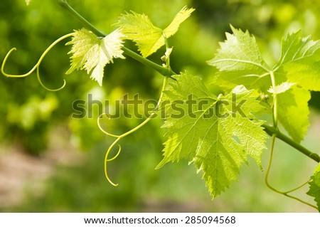 Grape leaves in vineyard  - stock photo