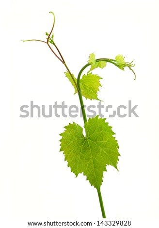 Grape leaves isolated on white
