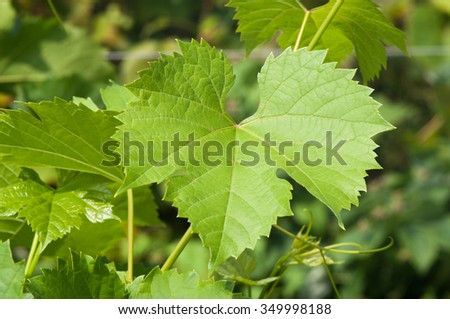 Grape leaves on a branch in vineyard