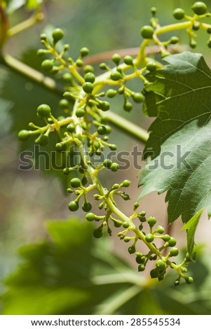 Grape leaves over defocused background of grapevine. Macro closeup - stock photo