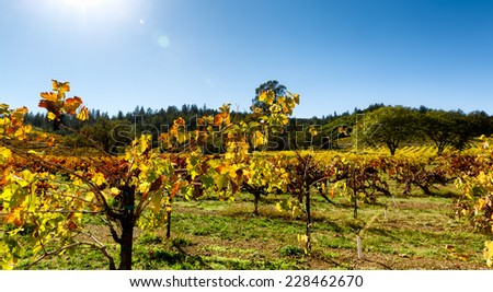 Grape leaves with fall color after the harvest in a California wine country vineyard. Close up leaves are back lit with sun flare. Copy space. - stock photo