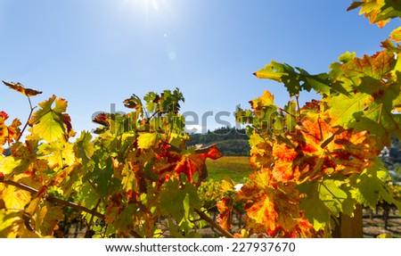 Grape leaves with fall color in a California wine country vineyard. Close up leaves are back lit with sun flare. Copy space. - stock photo