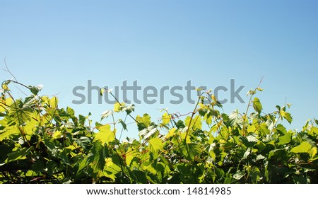 Grape leaves with sky as background - stock photo