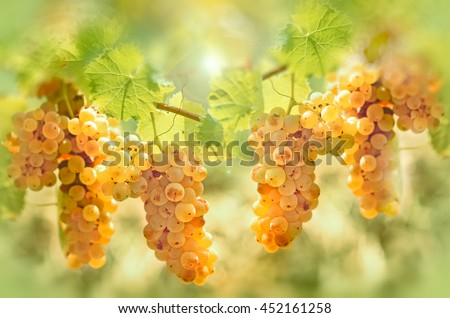 Grape riesling in vineyard - taste (flavor) and color of grape like honey - stock photo