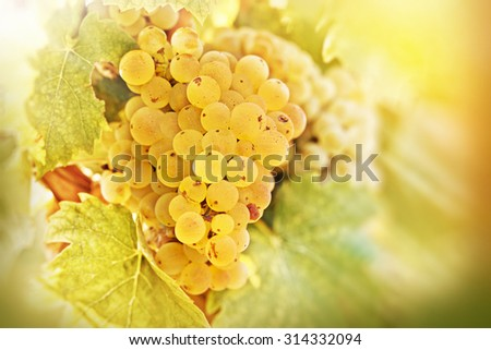 Grape Riesling lit by sun rays - stock photo