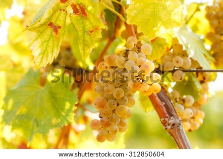 Grape Riesling on grape vine in vineyard  - stock photo