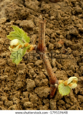 grape rooted stalk with first leaves - stock photo