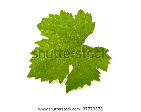 Grape sheet isolated on a white background - stock photo