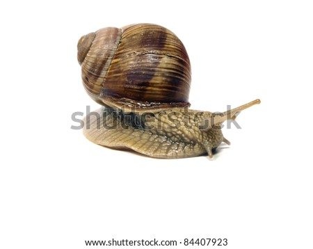 Grape snail on a white background