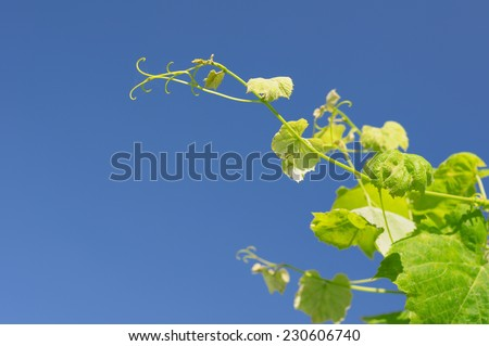 grape twig on a background of the sky - stock photo