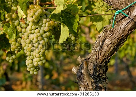Grape-vine and yellow gold berries