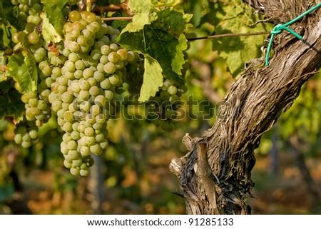 Grape-vine and yellow gold berries - stock photo