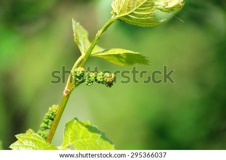 Grape vine in bloom and buds