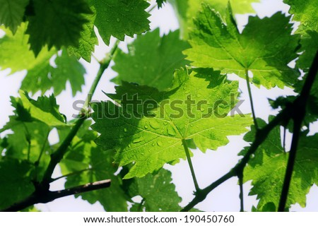Grape vine leaf with rain drops on the leaves - stock photo