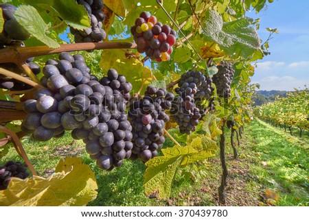 grape vines at harvest time - stock photo