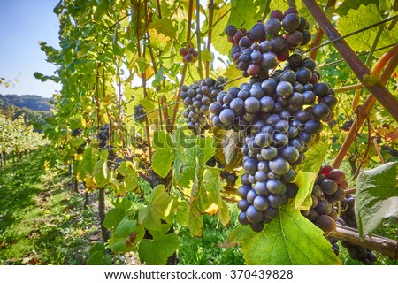 grape vines at harvest time - stock photo