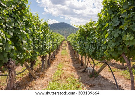 Grape vines in rows at a winery in the Okanagan Valley in British Columbia, Canada - stock photo
