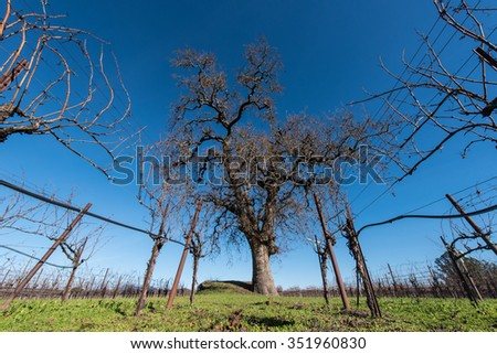 Grape vines in the fall with oak tree in the field - stock photo