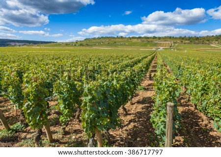 Grape vines, lush green on a bright sunny day in a vineyard.