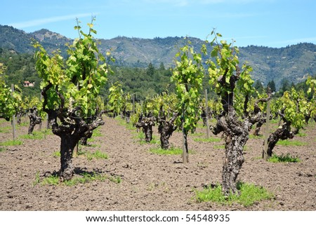 Grape vines that look like they are dancing. - stock photo