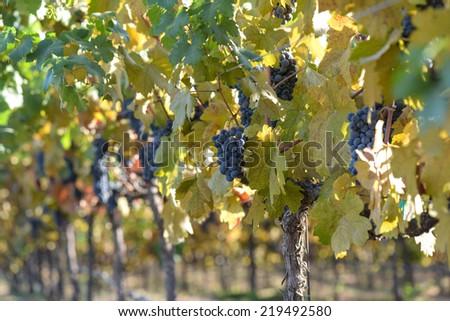 Grape Vineyard in Autumn - stock photo